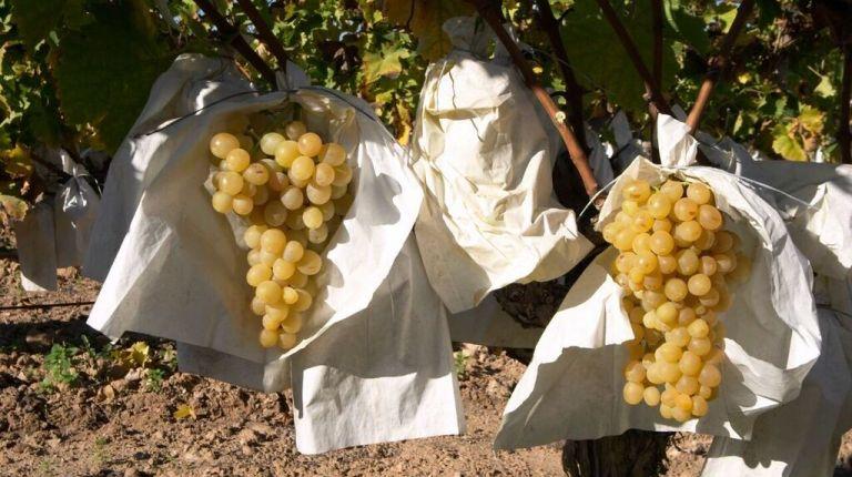 2 de cada 3 uvas que consumimos en Nochevieja proceden del Valle del Vinalopó